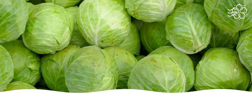 Лучшие сорта капусты для засолки и хранения, как выбрать капусту для квашения на зиму, какая идет на засолку, а какая нет