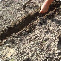 Как ухаживать за амарантом? Расстояние до ближайших посадок должно быть не меньше 2 м, так как мощная корневая система амаранта может «отнимать» питательные вещества у других культурных растений.