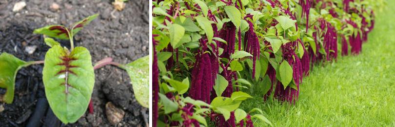 Чем полезен амарант? Листья амаранта используют в салатах, цветки – как приправу к мясным и рыбным блюдам. Из цветков варят компоты, а также добавляют их в вино и коктейли.