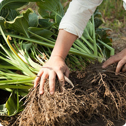 Как вырастить хосту? Корневища хосты быстро разрастаются, поэтому каждые 7 – 8 лет их делят.