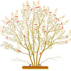 Как ухаживать за сиренью? После окончания цветения удаляют все засохшие метелки.