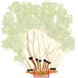 Как ухаживать за сиренью? Для того, чтобы куст был ровным и красивым, его нужно регулярно подстригать, удаляя слишком длинные или неправильно растущие ветви.