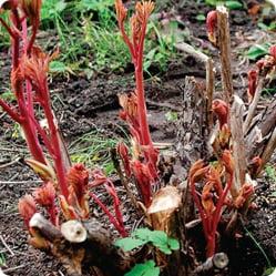 Надземная часть травянистых пионов осенью отмирает, а на следующий год отрастает вновь. Поэтому при посадке пионов особое внимание следует уделять корневой системе.
