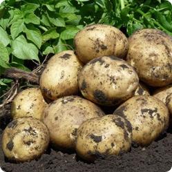 Сроки посева картофеля