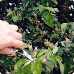 Как вырастить яблоню и ухаживать за ней