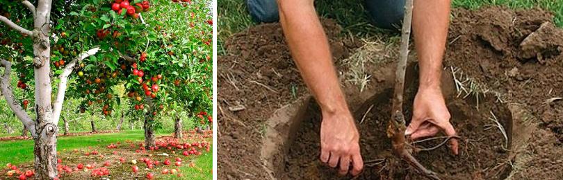 Как посадить и вырастить яблоню
