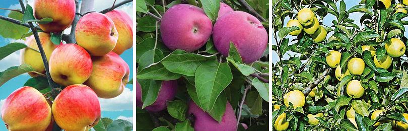Как вырастить яблони разных сортов