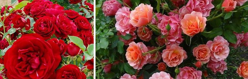 Морозостойкие плетистые розы