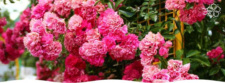 Самые неприхотливые розы для начинающих