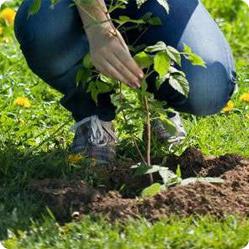 Как вырастить садовую малину? Посадка