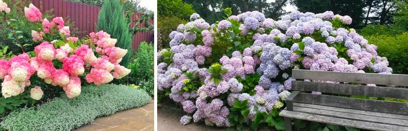 Как ухаживать за гортензией садовой осенью