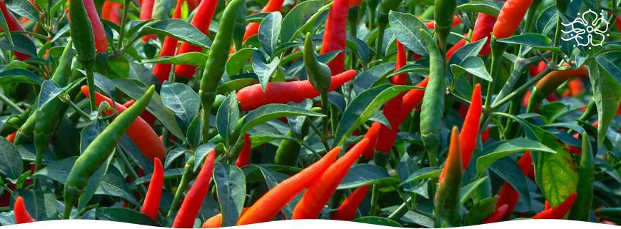 Как ухаживать за перцами в период цветения и плодоношения