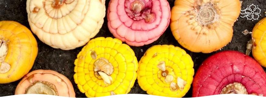 Как хранить луковицы гладиолусов зимой в квартире
