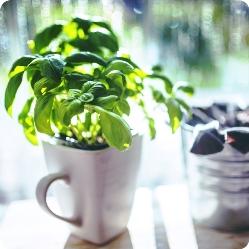 Как выращивать зелень на подоконнике