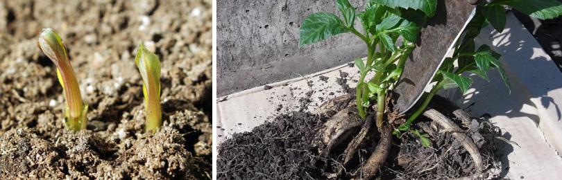 Как посадить георгин в горшок