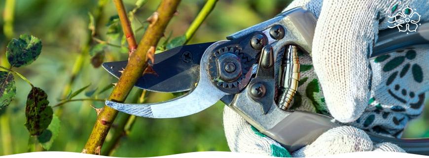 Рябинник рябинолистный: уход за растением и применение