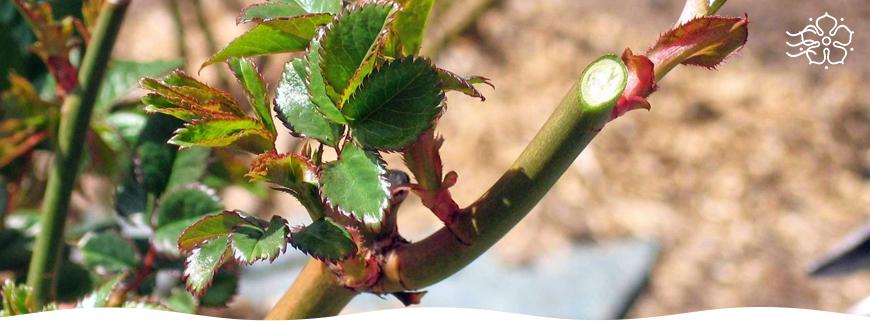 Посадка роз весной при какой температуре. Чем характерна весенняя посадка роз. Мокрый способ посадки роз